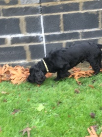 Bubba the black spaniel dog